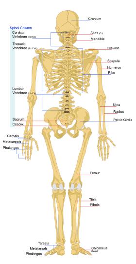 Skelett_kl.png